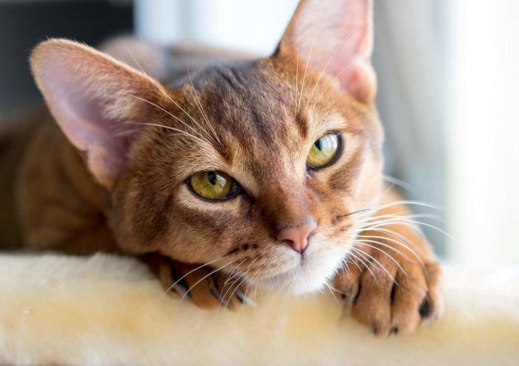 abessijn kat intelligent